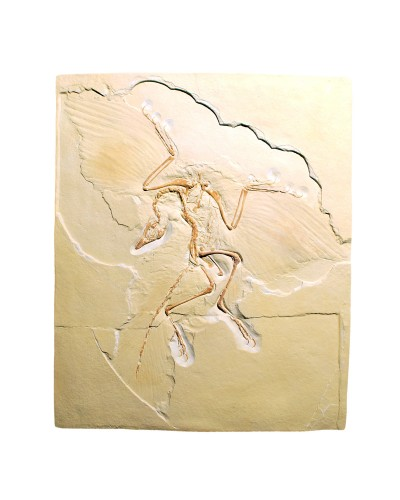 Archaeopteryx lithographica, Replica