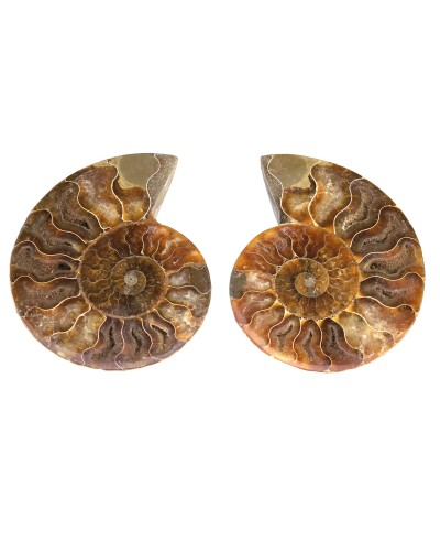 Ammonite (Cleoniceras), 2 halves, semi-polished