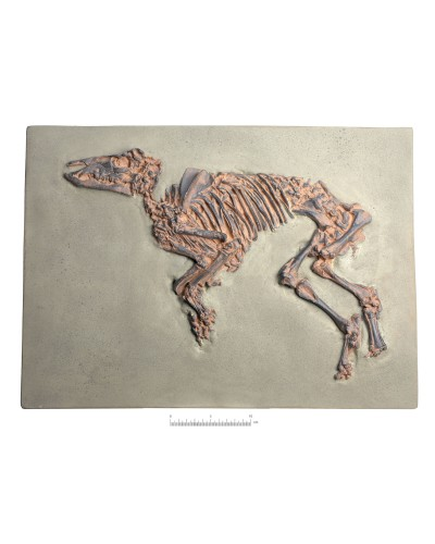 Proto-Horse Fossil, (Propalaeotherium messelense), Replica