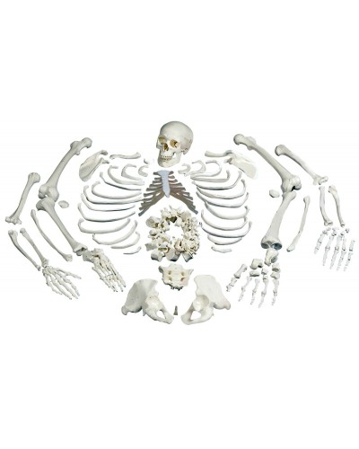 Disarticulated Full Human Skeleton with 3 part skull