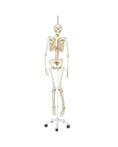 Functional Physiological Skeleton Model - Frank - Hanging Stand