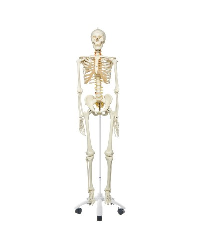 Flexible Skeleton Model - Fred