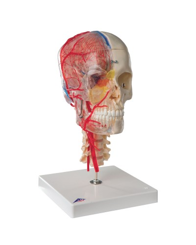 BONElike™ Human Skull Model, Half Transparent&Half Bony- Complete with  Brain and Vertebrae
