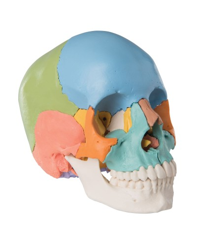 Beauchene Adult Human Skull Model - Didactic Colored Version, 22 part