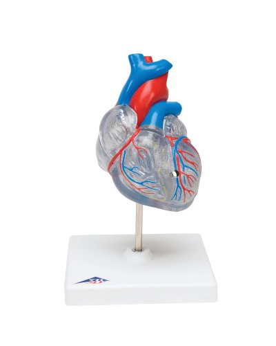 Classic Heart with Conducting System, 2 part