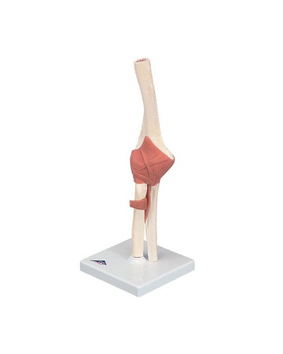 Deluxe Functional Elbow Joint Model