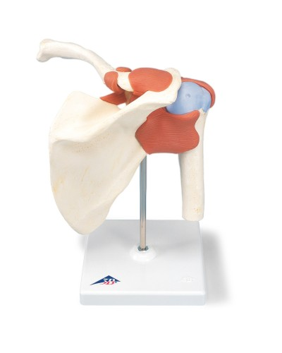 Deluxe Functional Shoulder Joint Model