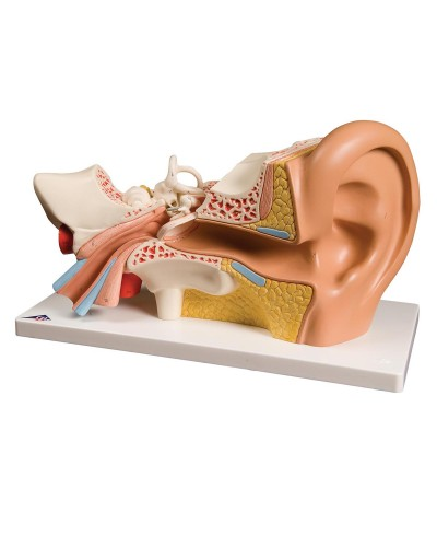 Ear Model, 3 times life size, 4 part