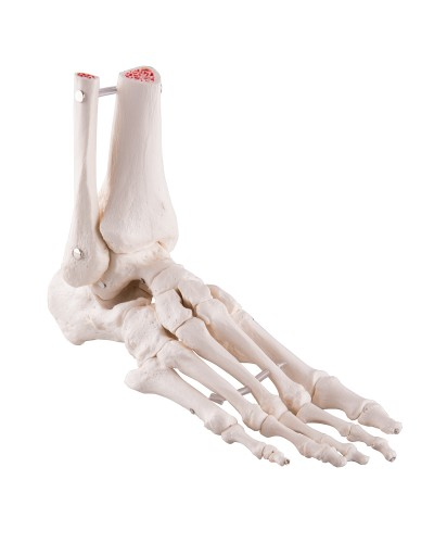 Foot and Ankle Skeleton