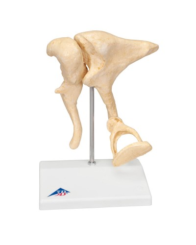Ossicle Model | 20 times life size